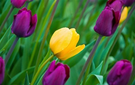 Обои Тюльпаны, желтые и фиолетовые цветы, бутоны, лепестки, роса