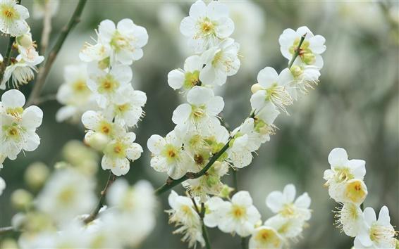 壁紙 小枝、白い桜の花、花、春、ボケ味