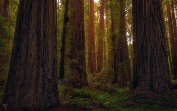 壁紙 アメリカ、カリフォルニア州、レッドウッド、森、木