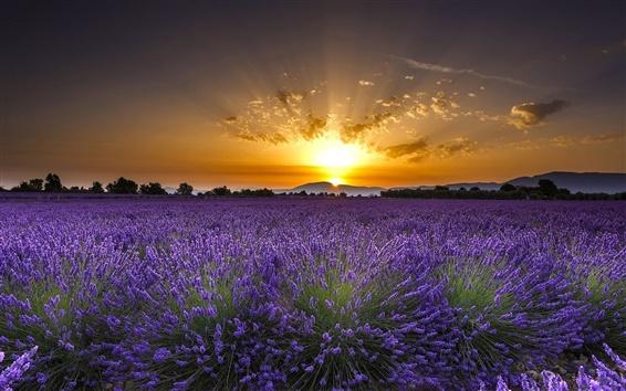 Papéis de Parede Valensole, França, flores de lavanda, nascer do sol, amanhecer