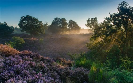 Wallpaper Veluwezoom National Park, Netherlands, heather, trees, sun rays, dawn