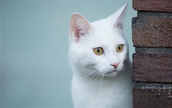 Wallpaper White cat, look, yellow eyes