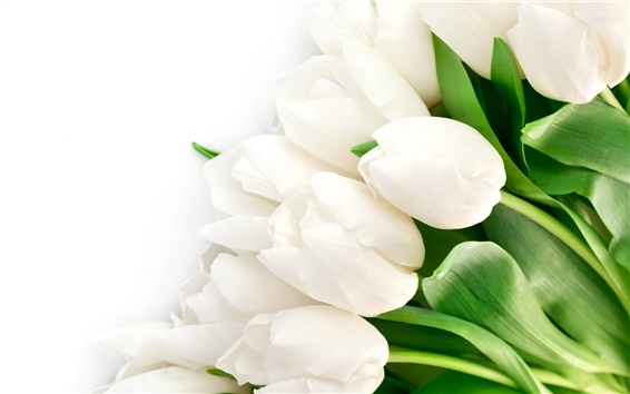 Wallpaper White tulips flowers, leaves
