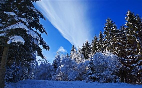 Обои Зима, снег толщиной, ели, деревья