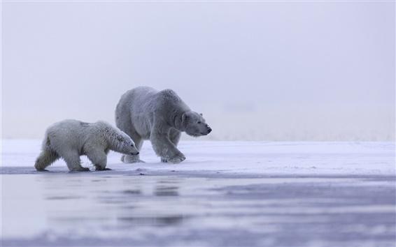 Wallpaper Alaska, Arctic, polar bear family, cold