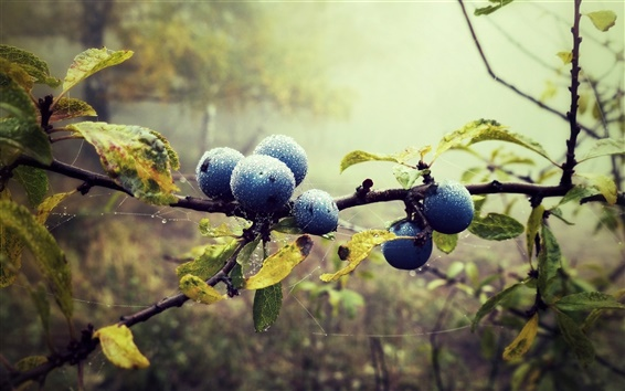 Wallpaper Blueberries, twigs, water drops, leaves, forest, fog