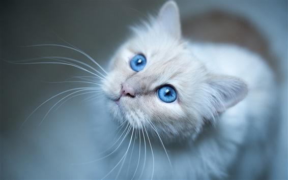 Wallpaper Burmese cat, blue eyes, white kitten