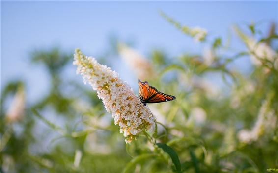 Fond d'écran Papillon sur les fleurs, fond flou