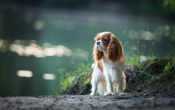 Fond d'écran Cavalier king Charles Spaniel, chien