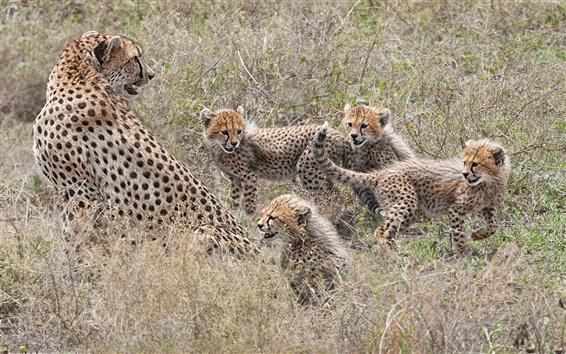 Wallpaper Cheetahs family, cubs, motherhood