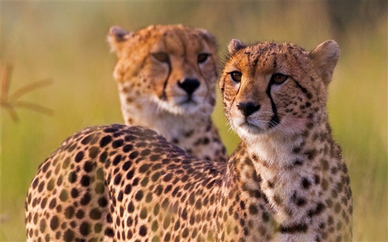 Wallpaper Cheetahs, wild cat, Africa
