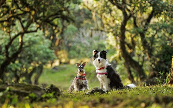 Wallpaper Dwarf Schnauzer, border collie, two dogs
