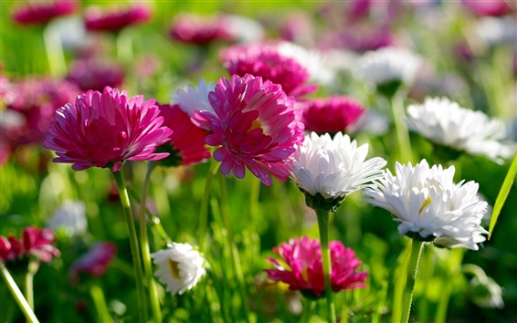 Wallpaper Flowers, summer, white and pink chrysanthemum