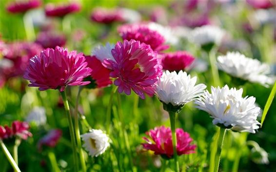 Fondos de pantalla Flores, verano, blanco y crisantemo rosa