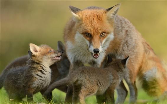 Wallpaper Foxes, cubs, motherhood, family