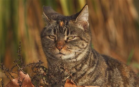 Papéis de Parede Foxy wildcat, olhar, olhos