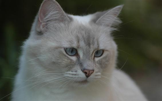 Fondos de pantalla Gato gris, cara, ojos, bokeh