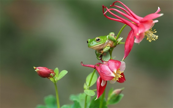 Wallpaper Green frog, treefrog, red flowers