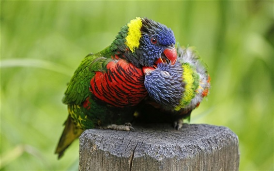 Wallpaper Multicolor lorikeet, parrot, birds close-up