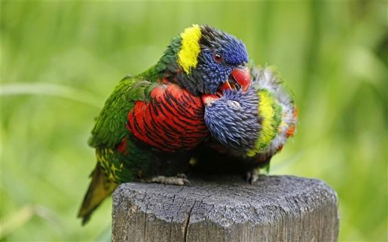 Fondos de pantalla Multicolor lorikeet, loro, aves de cerca