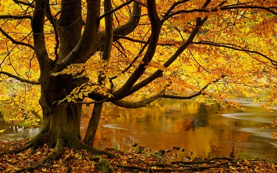 Wallpaper North Yorkshire, England, tree, yellow leaves, pond, autumn