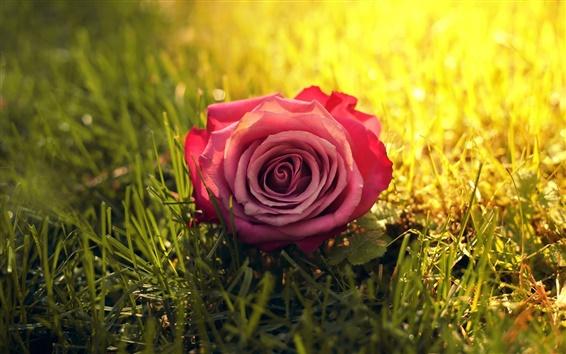 Wallpaper One pink rose flower in grass, sun, sunshine