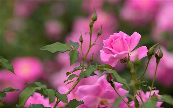 Wallpaper Pink rose, flowers, buds, bokeh