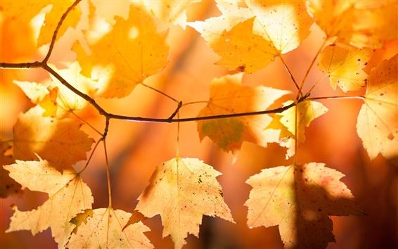 Papéis de Parede Folhas de bordo vermelhas, ramo, outono, luz solar