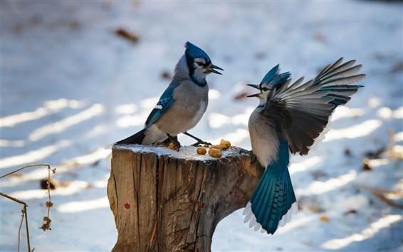 Papéis de Parede Dois pássaros, penas azuis, asas, coto