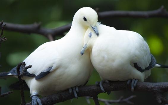 Papéis de Parede Dois pombos, pássaros, casal