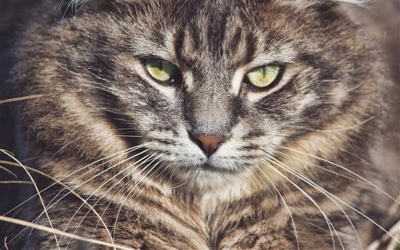 Fond d'écran Wild cat, les moustaches, les yeux, le visage