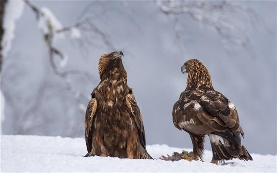 Wallpaper Winter, snow, raptors, two eagles
