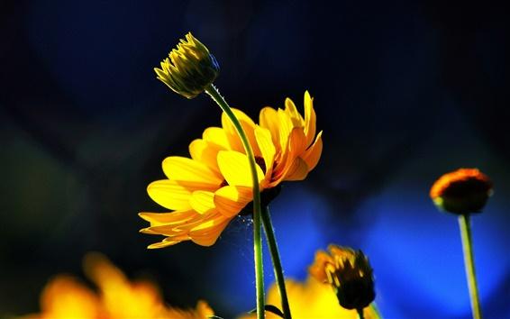 Обои Желтые цветы, бутоны, синий фон, солнце