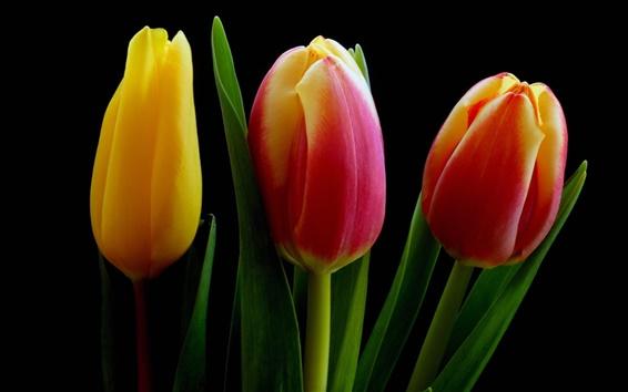 Fond d'écran Jaunes fleurs de tulipes rouges orange, fond noir