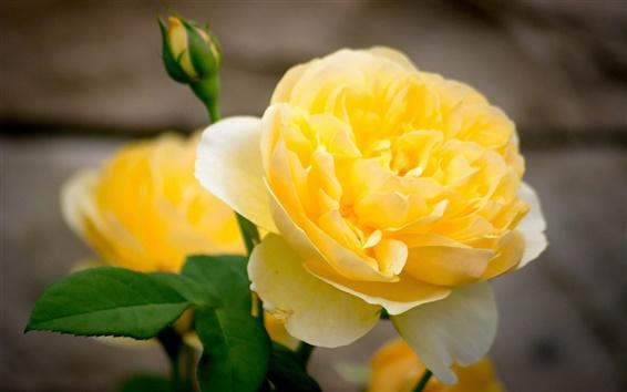 壁紙 黄色の花クローズアップ、花びら、芽をバラ