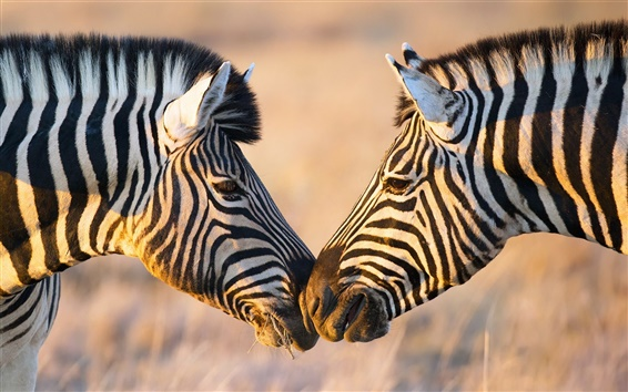 Wallpaper Africa, two zebras, face to face