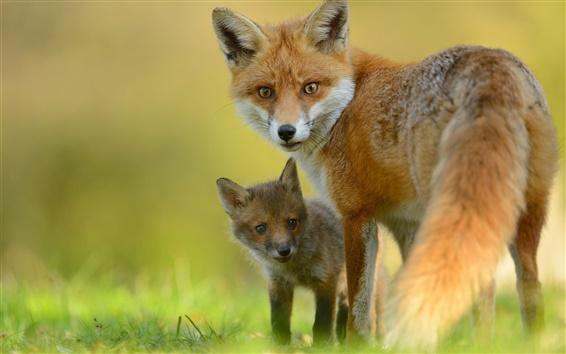 Wallpaper Animals close-up, fox, cub, look back
