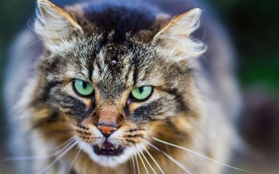 Wallpaper Cat face close-up, eyes, mustache, bokeh