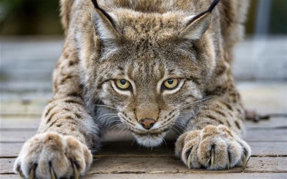Обои Симпатичные рысь, кошка, глаза, когти, лицо