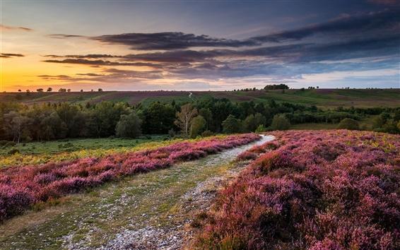 Обои Англия, вереск цветы, холмы, деревья, закат, облака, небо