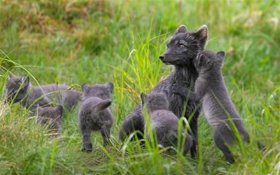 Wallpaper Finland, black arctic fox family, summer, grass