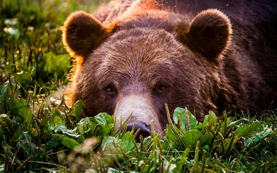 Обои Гризли, медведь, лицо, отдых