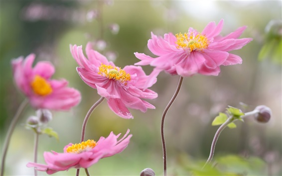 Wallpaper Japanese anemone, petals, pink flowers