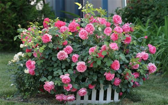 Обои Розовые цветы, розы, забор, трава, сад