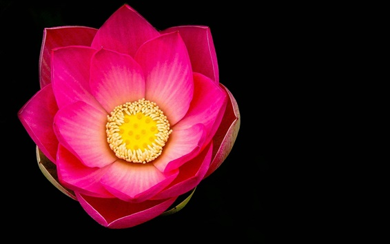 Wallpaper Pink lotus flower macro, black background