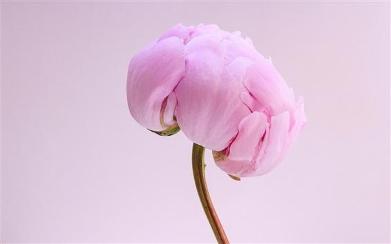 Wallpaper Pink peony flower close-up