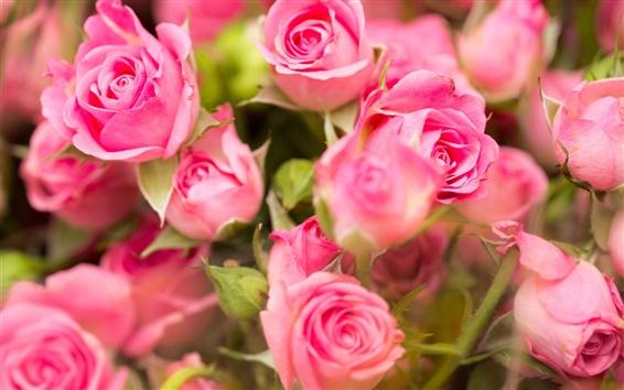 Fond d'écran roses roses, fleurs en gros plan