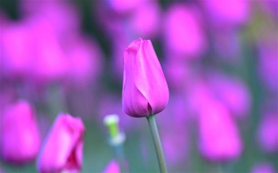 Papéis de Parede flores da tulipa cor de rosa, caule, pétalas, bokeh