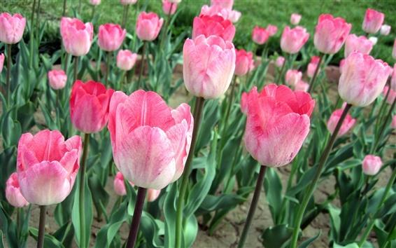 Обои Розовые тюльпаны, цветы поле