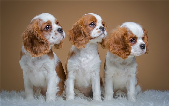 Fondos de pantalla Perros de aguas, lindo tres cachorros